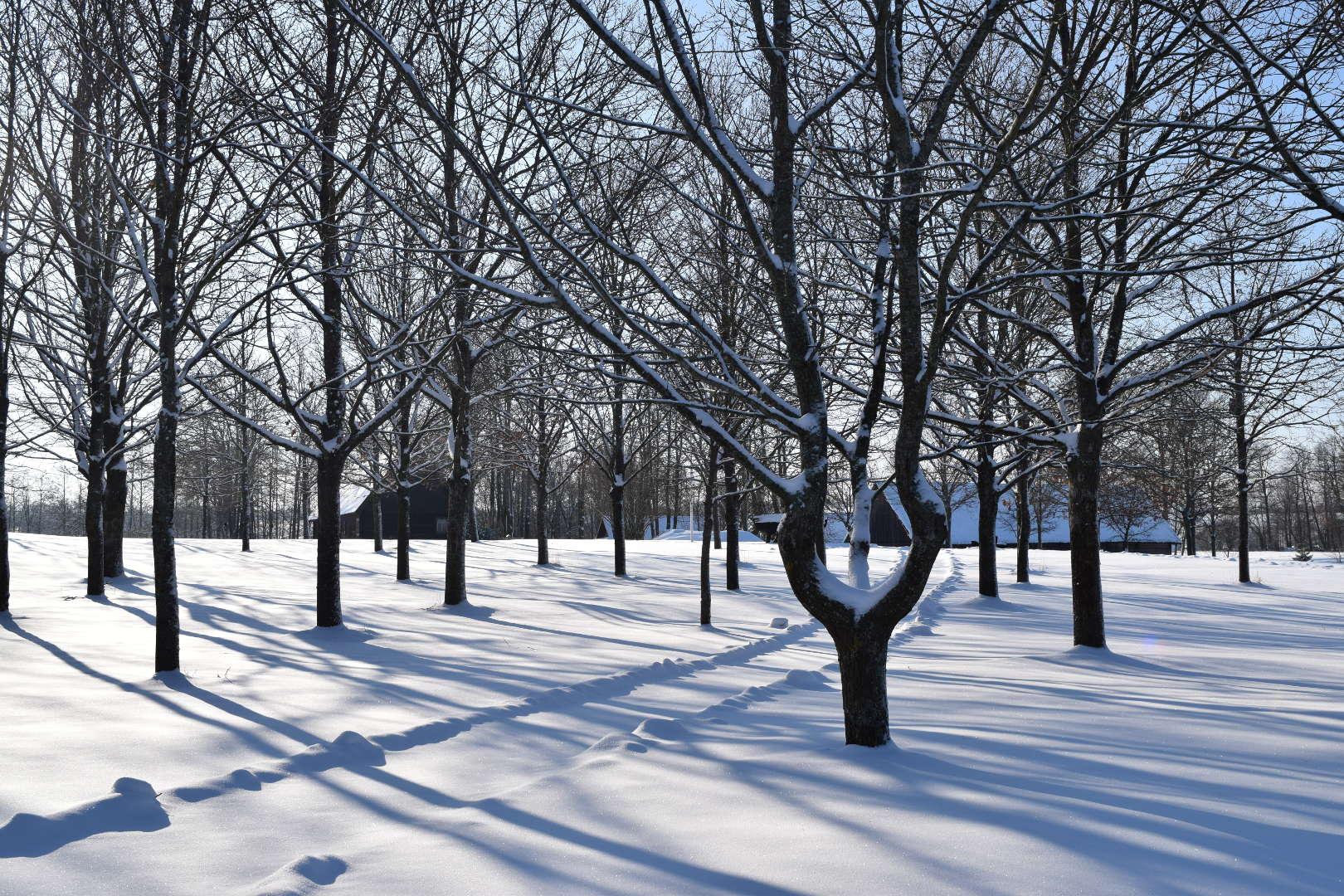 Lietuvos tautinio atgimimo ąžuolynas žiemą